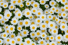 Natural floral background of white daisy flowers Stock Image