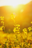 Natural floral background, yellow wildflowers Stock Photography