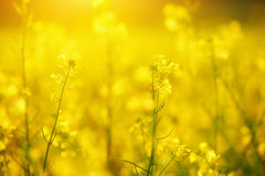 Natural floral background, yellow wildflowers Royalty Free Stock Photos