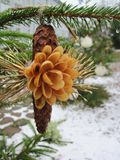 Natural flower on conker on fir tree in Christmas royalty free stock photography