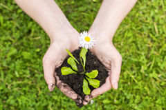 Natural flower seedling in hands Royalty Free Stock Images