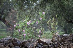 Natural flowers next to stone wall. Extremadura, Spain stock image