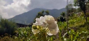 Natural flowers. Ofsikkim ittarey uttarey india stock images