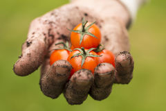 Natural food - dirty farmer hand with fresh tomatoes Stock Photo