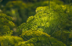 Natural food products. Green dill in the greenhouse Stock Image