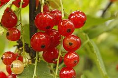 Natural Foods, Berry, Fruit, Currant stock photo
