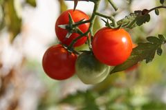 Natural Foods, Fruit, Tomato, Potato And Tomato Genus stock photo