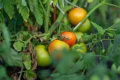 Natural Foods, Local Food, Vegetable, Tomato stock photo