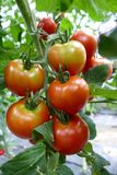 Natural Foods, Vegetable, Local Food, Tomato stock photography