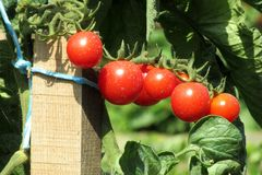 Natural Foods, Vegetable, Tomato, Local Food royalty free stock image