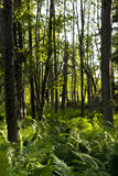 Natural Forest with Fern Plants Stock Photo