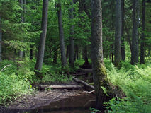 Natural forest landscape. Old natural forest and small river Royalty Free Stock Photos