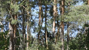 Natural forest landscape. With coniferous and deciduous trees video footage stock video