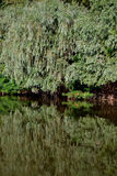 Natural forest of willow trees. Natural forest of Willows on the river Danube. Willow trees reflected in water stock photo