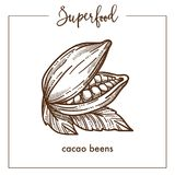 Natural fragrant cocoa beans monochrome superfood sepia sketch. Natural fragrant cocoa beans with leaves monochrome superfood sepia sketch. Main ingredient that Royalty Free Stock Image