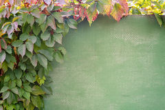 Natural frame of grape growing on the wall. Natural frame of grape growing on the wall Royalty Free Stock Images