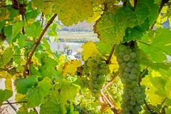 Natural Frame with Winegrapes. On the background the danube river Royalty Free Stock Photography