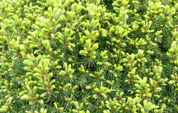 Natural fresh background, conifer on the green royalty free stock photo