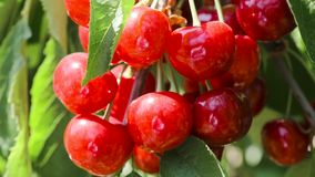 Natural fresh cherry, hanging in branch of a cherry tree. fruit food, sweet cherry from tree closeup and general plan. stock video