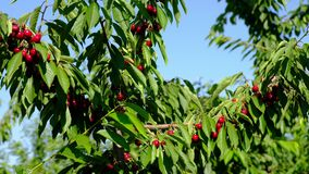 Natural Fresh Cherry, Hanging In Branch Of A Cherry Tree. Fruit Food, sweet Cherry From Tree closeup and general plan. Series stock video