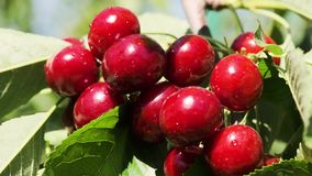 Natural Fresh Cherry, Hanging In Branch Of A Cherry Tree. Fruit Food, sweet Cherry From Tree closeup and general plan. Series stock video footage