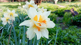 Natural fresh daffodils. Stock Images