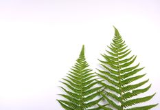 Natural fresh fern leaves look like christmas tree on white background with copy space for your own text like a christmascard