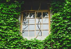Natural fresh green leaf covered cement wall with wooden window on sunny day, climbing plant on the concrete wall. Eco friendly concept royalty free stock photo