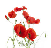 Natural Fresh Poppies Isolated On White Royalty Free Stock Photography
