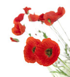 Natural Fresh Poppies isolated on white Stock Images
