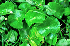 Natural fresh Water Pennywort Royalty Free Stock Photography