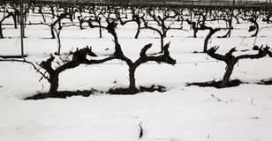 Natural frozen vineyards. Icy vineyards in natural landscape, agriculture and winter stock image