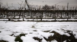 Natural frozen vineyards. Icy vineyards in natural landscape, agriculture and winter royalty free stock photography