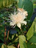 This is Natural fruit flower of srilanka stock photography