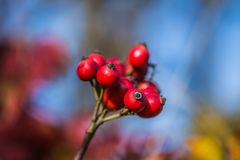 Natural fruits of red rosehip in the autumn Royalty Free Stock Photography