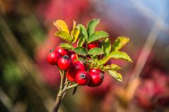 Natural fruits of red rosehip in the autumn Stock Photo