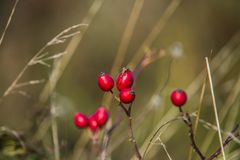Natural fruits of red rosehip in the autumn Stock Images