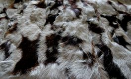 Natural fur gray white with black stripes, beautiful background stock images