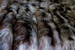 Natural fur gray white with black stripes stock photography