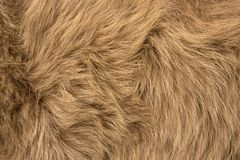 Natural fur of red polar fox closeup. May be used as background or texture stock photography