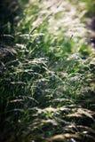 Natural grass Royalty Free Stock Image