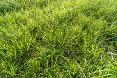 Natural Grass Royalty Free Stock Photo