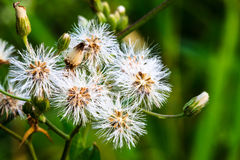 Natural grass flowers Stock Images