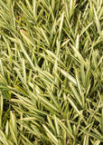 Natural Grass Plant Texture Royalty Free Stock Image