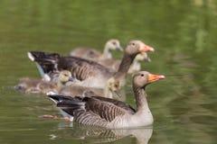 Gray goose anser anser family with four fledglings offspring. Natural gray goose anser anser family with four fledglings offspring Royalty Free Stock Photos