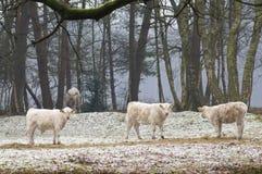 Natural grazing cows Royalty Free Stock Photos