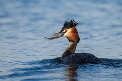 Natural great crested grebe podiceps cristatus with fish in beak stock photos