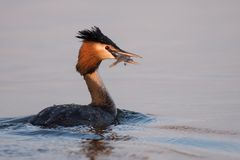 Natural great crested grebe podiceps cristatus with fish in beak.  Stock Photography