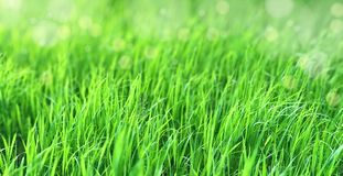 Natural green background with fresh juicy grass in sunlight with beautiful bokeh. Lush grass close-up in nature outdoors stock image