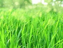 Natural green background with fresh juicy grass in sunlight with beautiful bokeh. Lush grass close-up in nature outdoors royalty free stock images